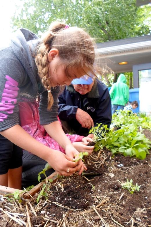 Une jeune fille prend délicatement des plantules de basilic.