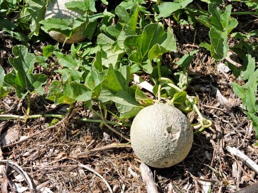 Melon brodé qui prend du soleil.