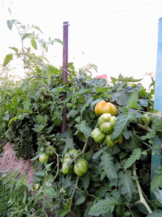 Les tomates croulent sous leur propre poids! Francis s'ajustera l'été prochain en installant des tuteurs plus solides et ce, plus tôt en saison.