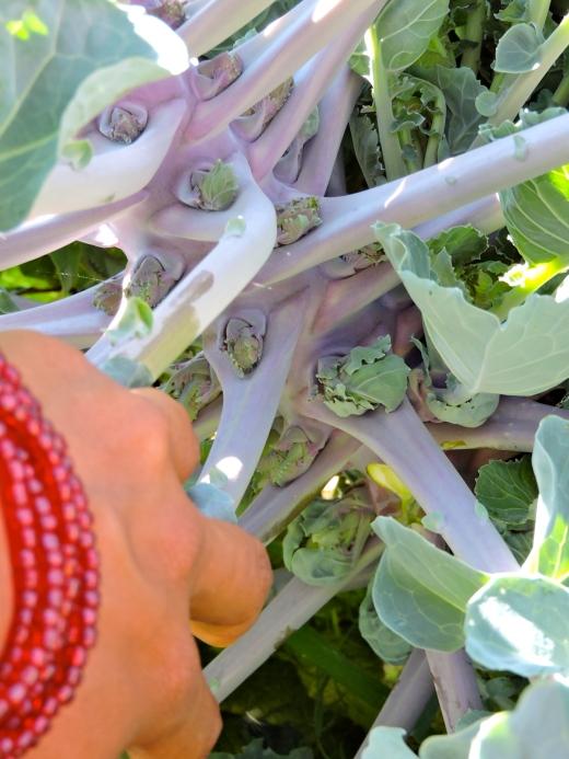 Une nouveauté, le chou Lollipops ! Des petits choux frisés (kale) poussent aux intersections de la tige principale et des tiges secondaires.
