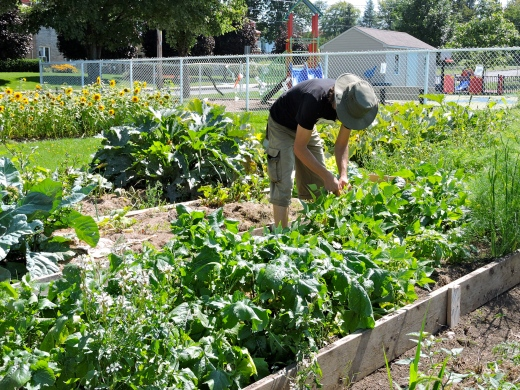 Certaines sections des jardins sont ouvertes pour la récolte aux résidents de la ville seulement. Une aide pour l'entretien ponctuelle ou assidue est évidemment appréciée!