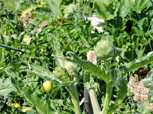 Artichauts. Une récolte qui a été abondante et délicieuse.