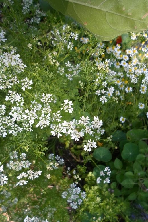 coriandre en fleur