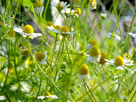 La camomille allemande est une candidate idéale pour les jardins secs.