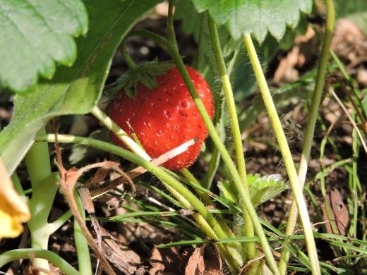 Les fraises font un couvre-sol parfait.