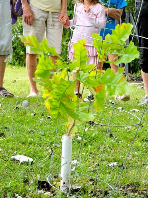 Des chênes semés et plantés par les élèves en façade du bâtiment scolaire.