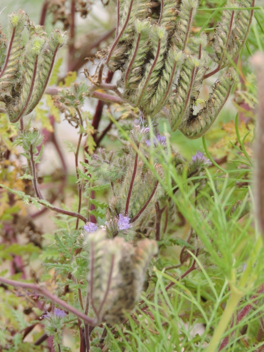 Phacélie, une plante qui attire les insectes bénéfiques et fait un excellent couvre-sol. Ici, on la laisse sécher afin que les enfants voient la plante à la fin de sa maturité.