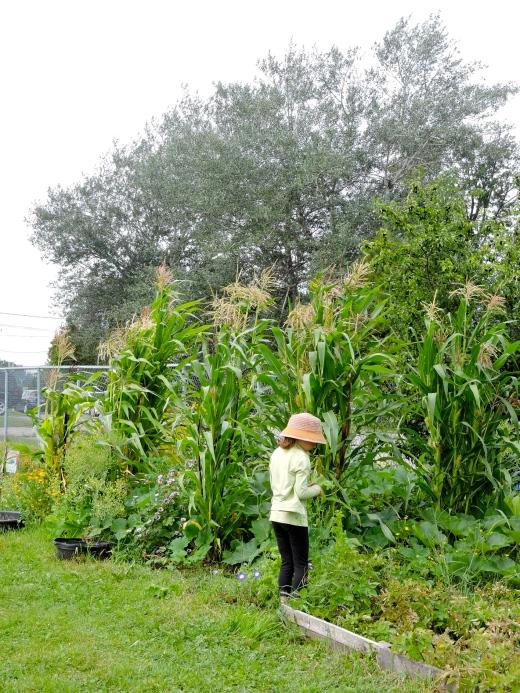 Une élève devant la jardin des 3 soeurs (thématique amérindienne). Les maïs profitent de l'azote des haricots qui poussent à proximité, lesquels peuvent grimper à leur tiges; les courges s'étalent entre les maïs et font un couvre-sol qui empêche la mauvaise herbe de pousser. Dans ce jardin-ci du basilic et des tomates ont aussi été intégrés.