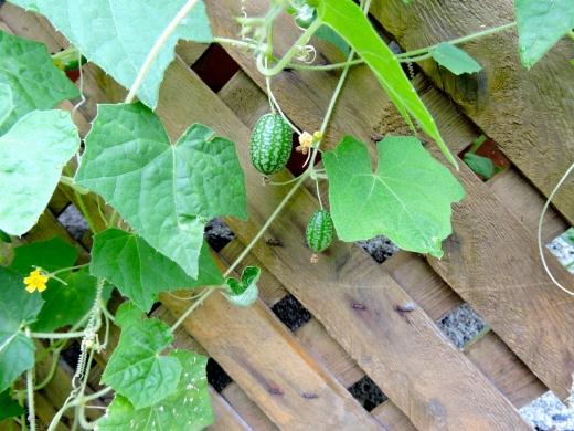 Ces minuscules concombres à confire ne sont pas plus gros que le bout du pouce. Croquants et légèrement amers, ils ont l'aspect de pastèques pour souris!  Essayez-les! Son nom latin: Melothria scabra. Merci à Josée du potager urbain pour la découverte.