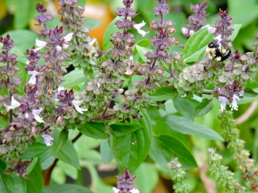 Basilic thaï ou canelle, bon pour nous et les pollinisateurs.