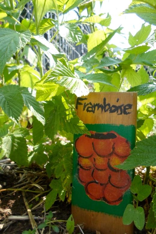 Les framboisiers jaunes n'ont pas donné de fruits cette année. On espère qu'on y goûtera l'an prochain!